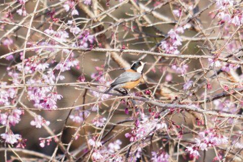 ヤマガラ春桜 暮らし環境